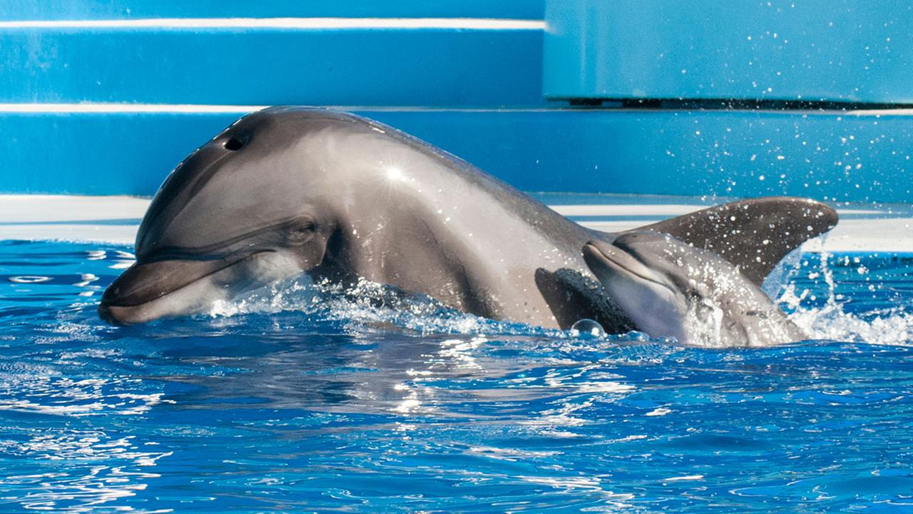 Sadie, a 13-year-old bottlenose dolphin, swims alongside her calf just moments after its birth. The calf was born Saturday, Oct. 18, 2014.