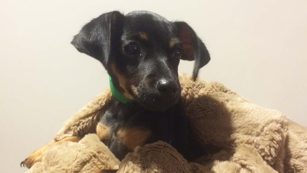 Our Pet of the Week on Tuesday is a 2-month-old male Miniature Pinscher mix named Wyatt. Please give him a good home!