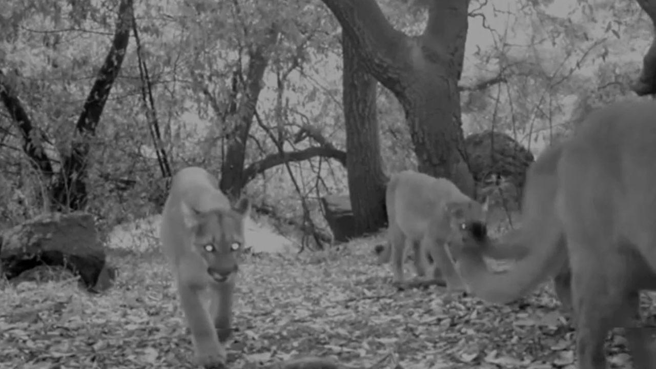 A family of four mountain lions was caught on video roaming the mountains in Big Dalton Canyon Wilderness Park above Glendora.
