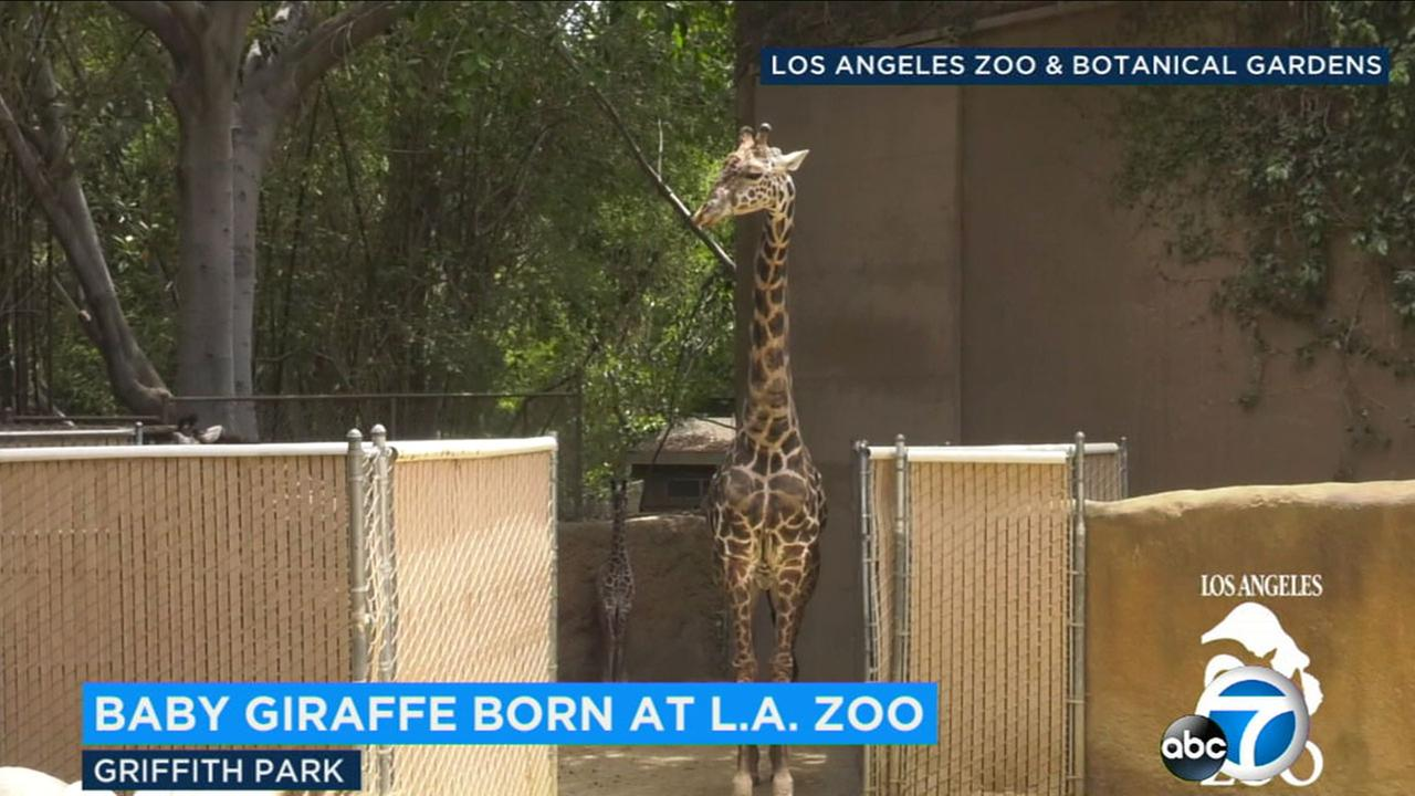 Visitors to the LA Zoo can now see the zoos latest newborn, a one-month-old Masai giraffe calf.
