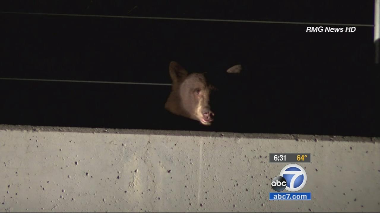 A large bear wandered onto the 210 Freeway in Duarte, causing panic for some drivers early Saturday morning.