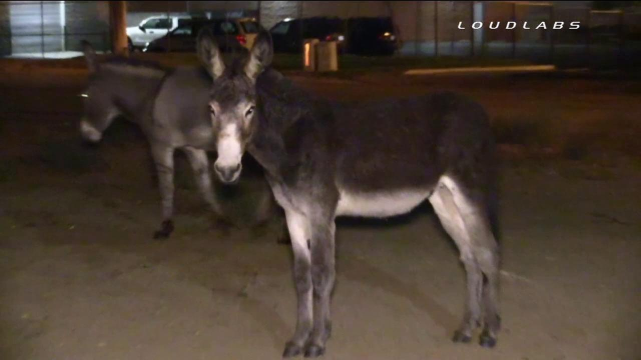 A group of wild donkeys was caught on camera roaming around the streets in Riverside, grazing in the area of Rustin Avenue and Spruce Street on Sunday, Oct. 26, 2014.