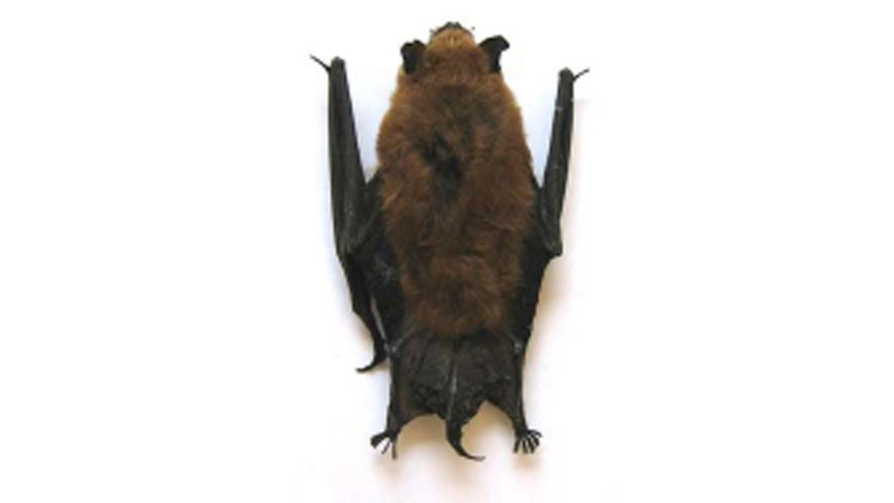 A bat is shown in this undated file photo.