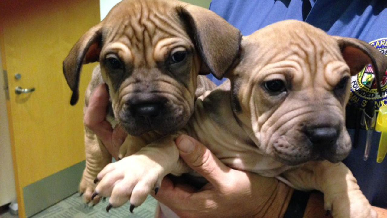Our Pets of the Week on Tuesday are 12-week-old Sharpei puppies named Chai and Latte. Please give them a good home!