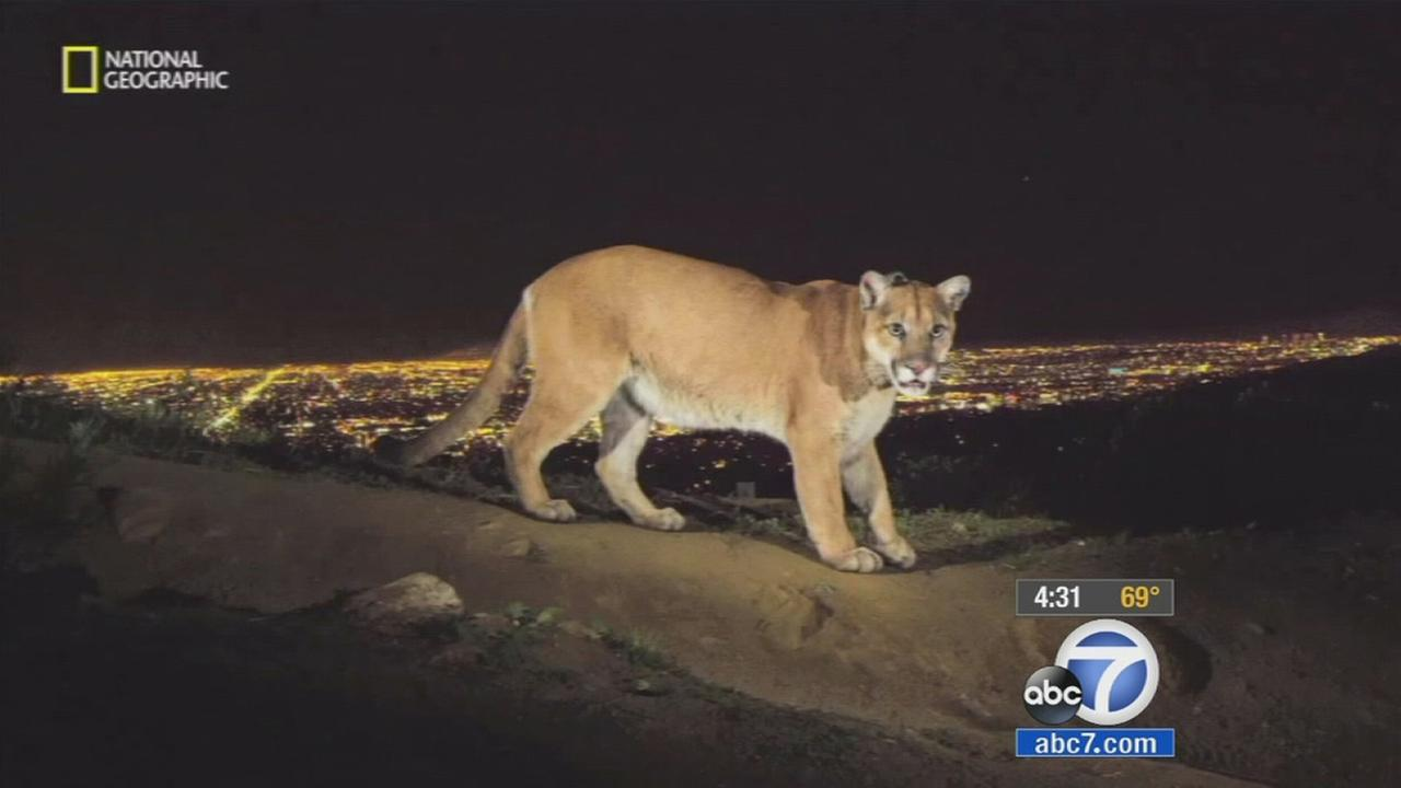Famous Griffith Park mountain lion exposed to rat poison
