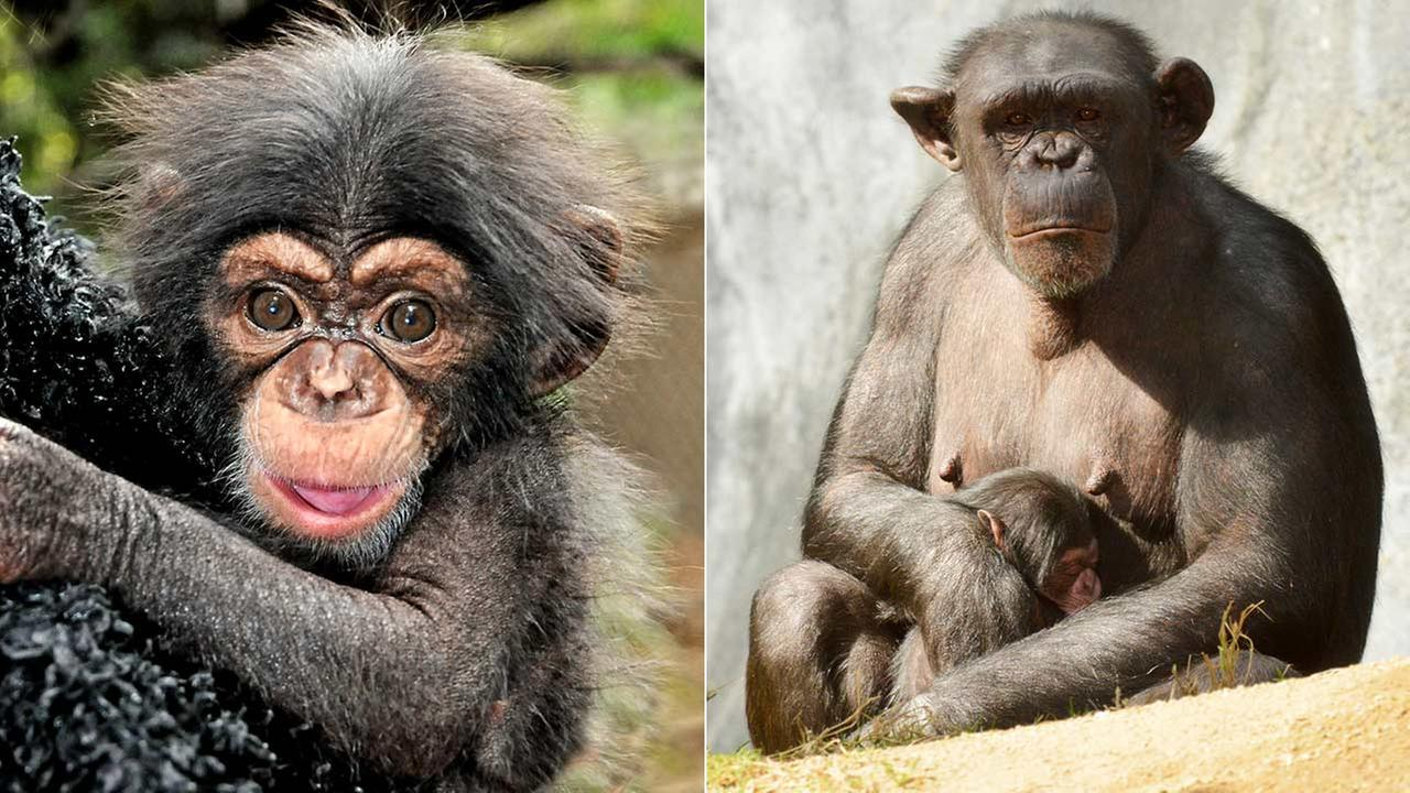 Baby chimpanzees Oliver, left, and Johari, right, are shown in photos provided by the Los Angeles Zoo.