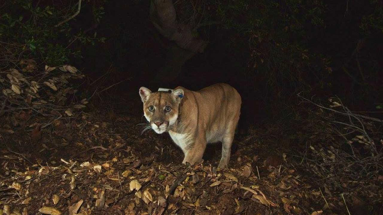 A National Park Service biologist captured photos of the Griffith Park mountain lion with remotely triggered camera. The images show he is recovering well from a skin disorder. Santa Monica Mountains National Recreation Area