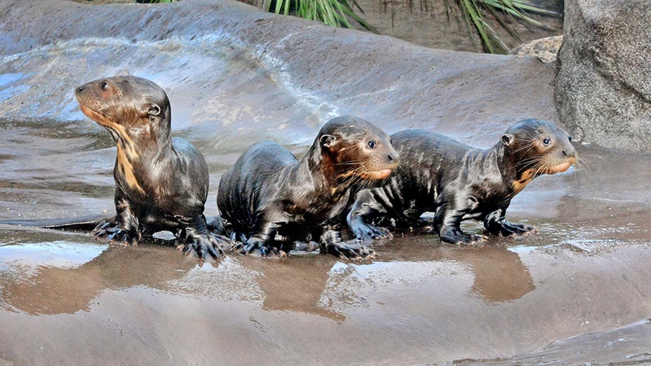 Three giant otter pups born at the Los Angeles Zoo stand on a rock.