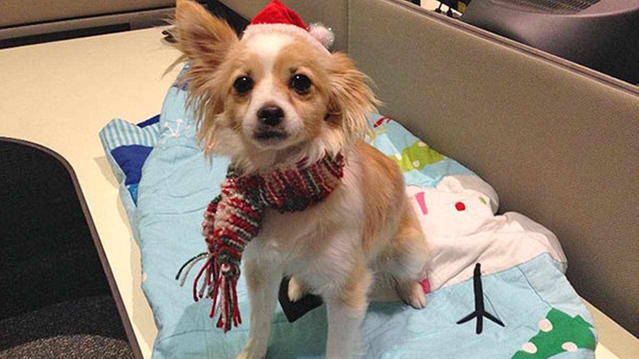 Our Pet of the Week on Tuesday, Dec. 23, is a 1-year-old male Papillon mix named Peanut. Please give him a good home!