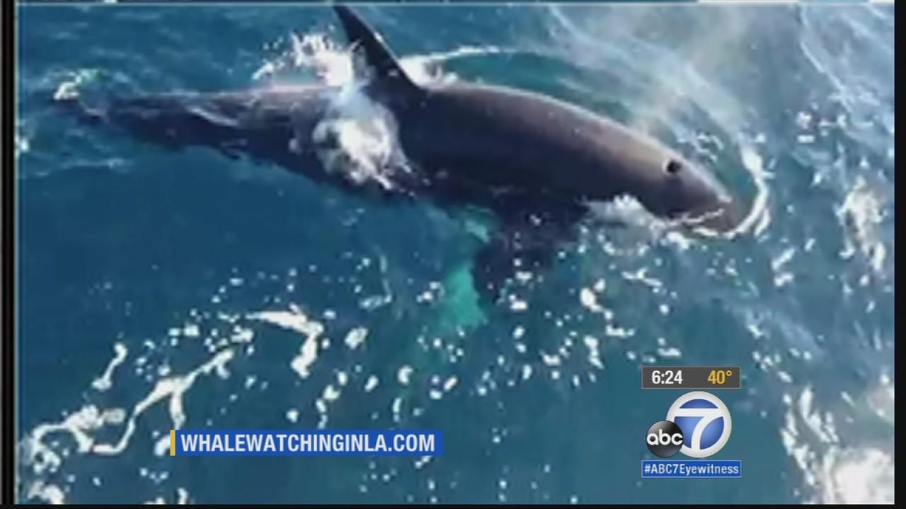 A pod of orcas made an appearance near some boaters off the coast of Long Beach on Friday, Dec. 26, 2014.