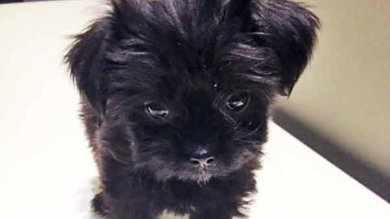 Our Pet of the Week on Tuesday, Jan. 6, is a 1-month-old female Shih Tzu mix named Lulu. Please give her a good home!