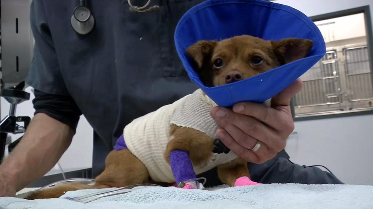 Mellie the Chihuahua is treated for her injuries in this undated file photo.