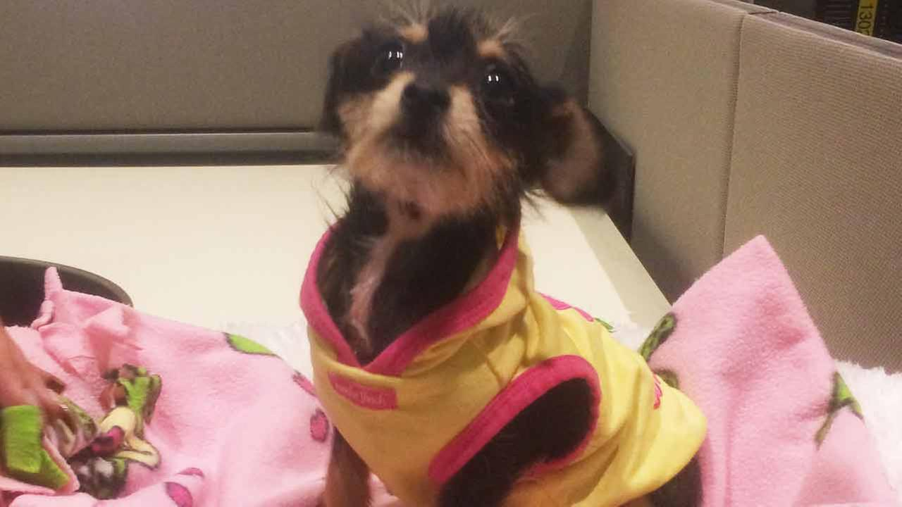 Our Pet of the Week on Tuesday, Jan. 13 is a 2-month-old female Yorkshire Terrier mix named Daisy.