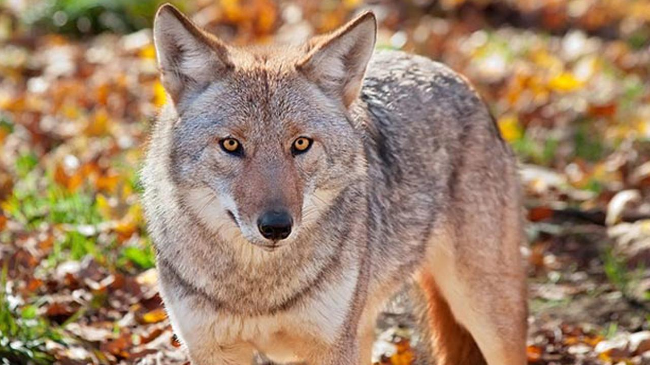 This stock photo shows a coyote.