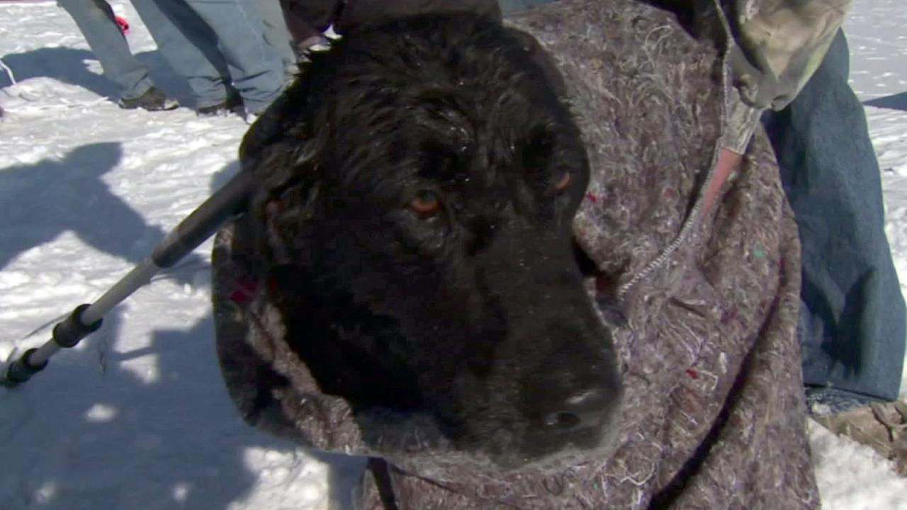 A lucky dog in Iowa is wrapped in wool after falling through icy waters in Iowa.