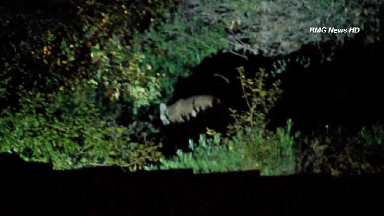 A mountain lion was caught on camera roaming around an Arcadia neighborhood on Sunday, Jan. 19, 2015.