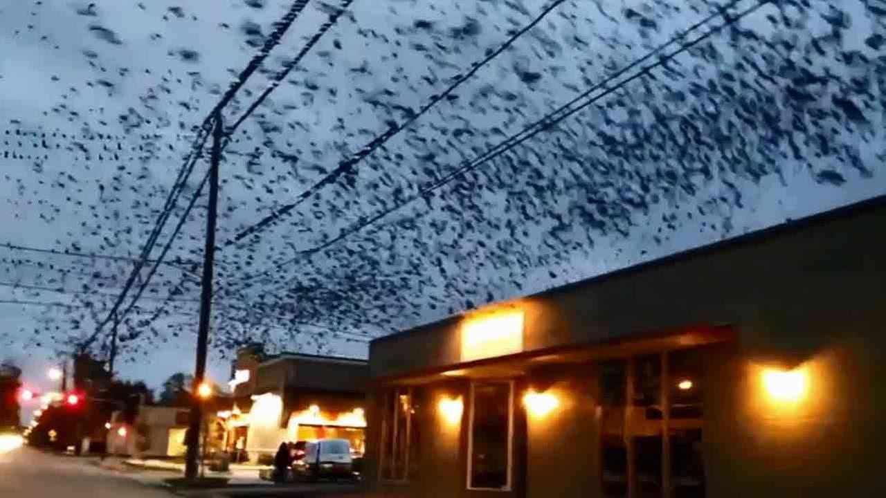 It was like a scene from Alfred Hitchcocks movie The Birds. A giant flock of birds invaded the sky in a Houston neighborhood.