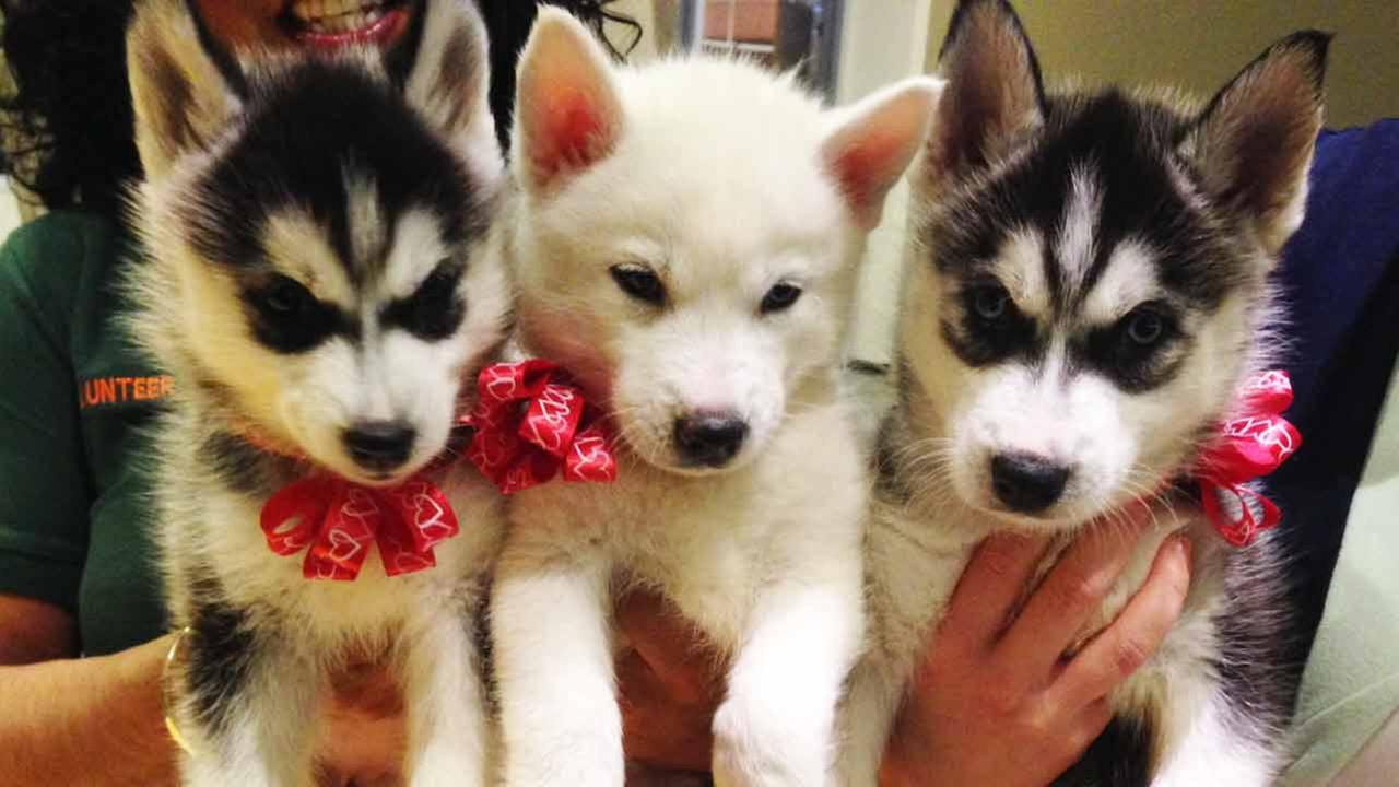 Our Pets of the Week on Tuesday, Feb. 10, are 1-month-old Siberian Husky puppies. Please give them good homes!