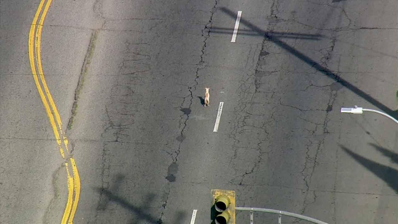 A dog inside the chase suspects car is seen on the street after the pursuit ended in Arleta on Wednesday, Feb. 11, 2015.KABC