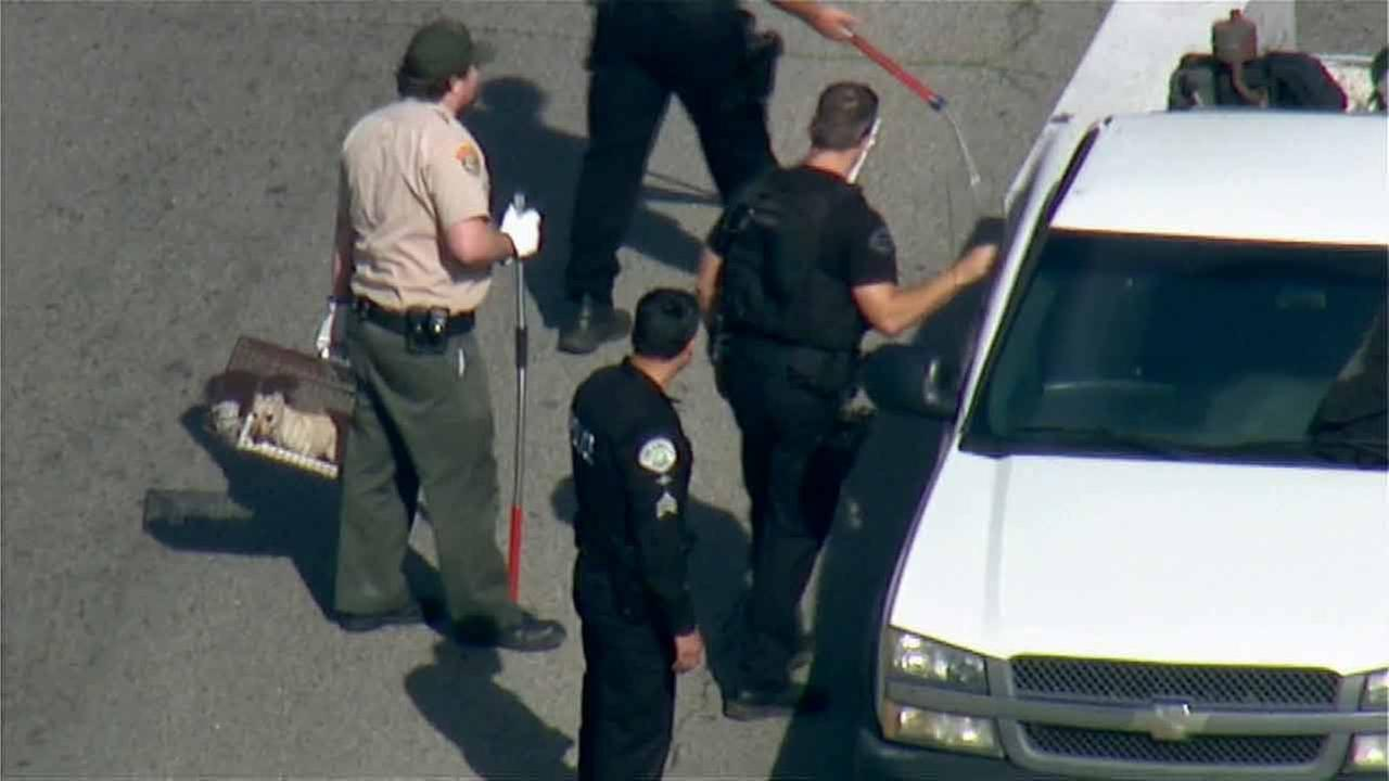 Animal control corralled a small dog that jumped out of a chase suspects car after the pursuit ended in Arleta on Wednesday, Feb. 11, 2015.KABC