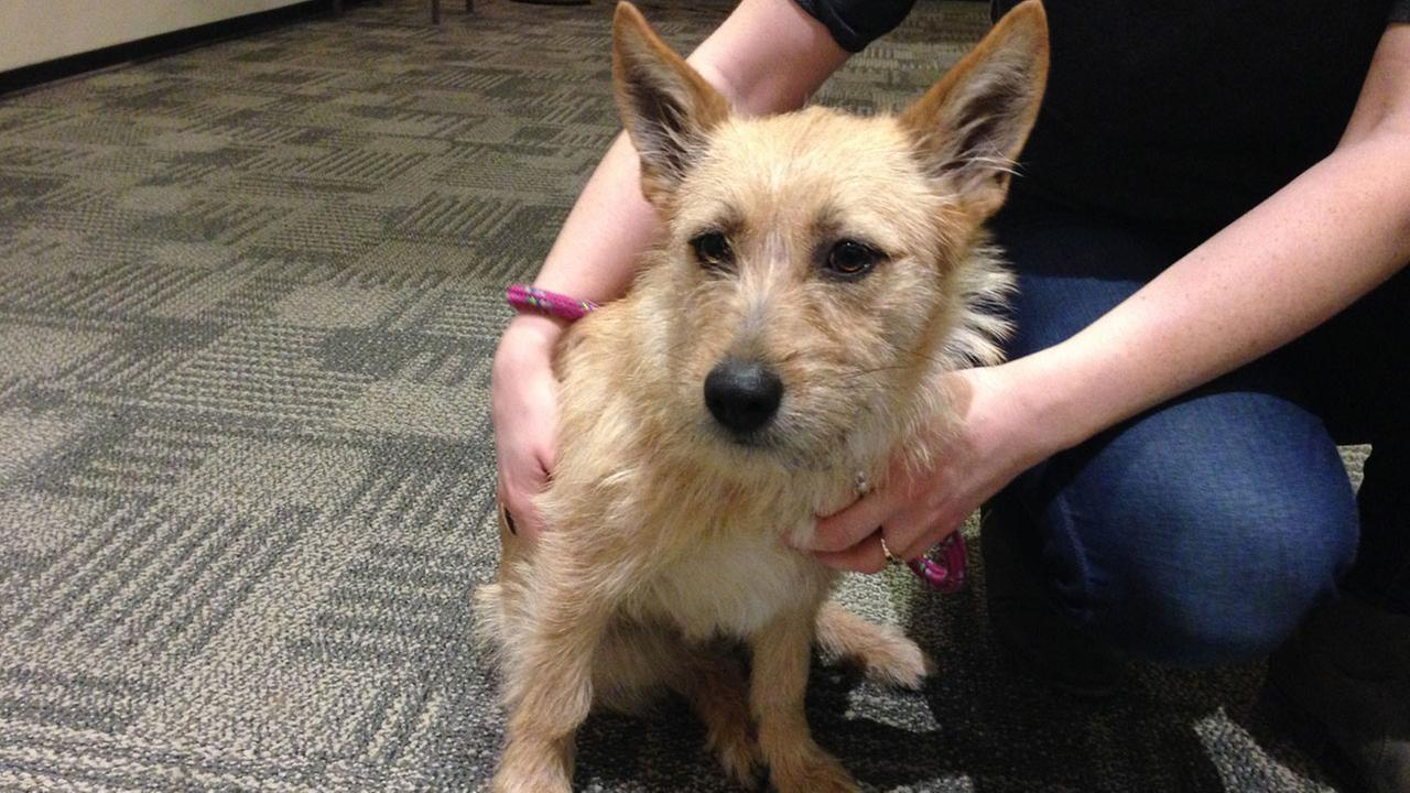 Our Pet of the Week on Thursday, Feb. 12, is a 1-year-old female Terrier mix named Gummy Bear. Please give her a good home!
