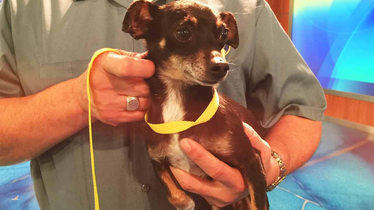 Our Pet of the Week on Tuesday, Feb. 17, is an 8-year-old female Chihuahua mix named Cherry. Please give her a good home!
