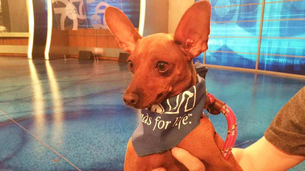 Our Pet of the Week on Thursday, March 5, is a 4-year-old female Chihuahua mix named Delilah.