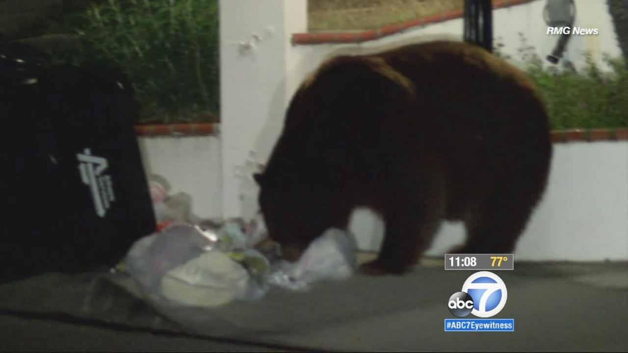 Two hungry bears were on the hunt in Monrovia, looking for food in a quiet residential neighborhood on Friday, March 6, 2015.