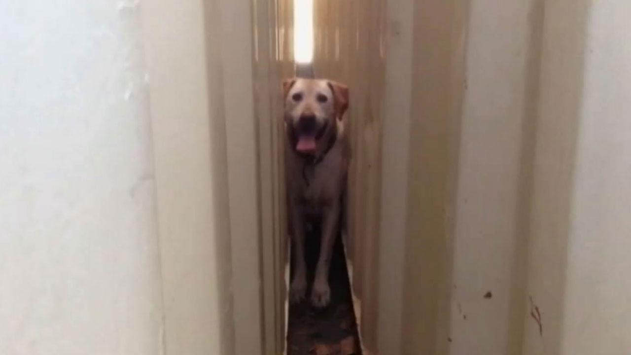 Twelve-year-old Spike, a Rhodesian Ridgeback, became trapped between two metal storage containers at South Oceanside Elementary School Sunday, March 8, 2015.