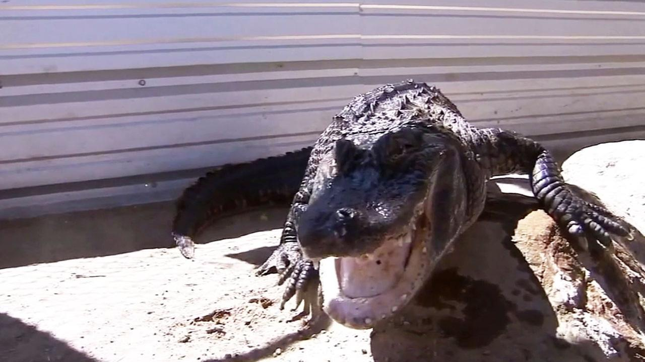 A 6-foot-long alligator, named Chopper, is seen in this undated file photo.
