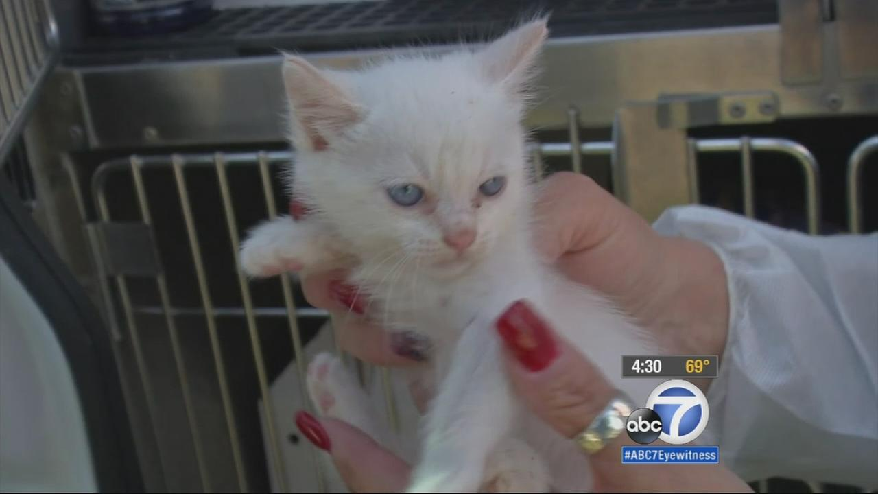 Cats were found living in deplorable living conditions at a Santa Ana home on Tuesday, March 17, 2015.