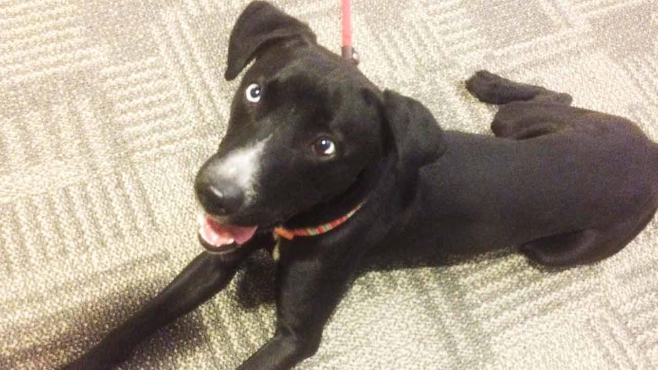 Our Pet of the Week on Thursday, March 19, is a 2-year-old male Labrador-retriever mix named Bentley. Please give him a good home!