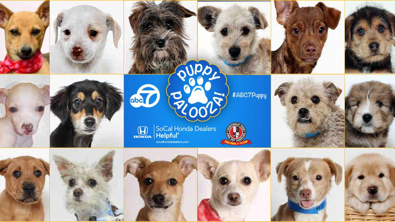 ABC7 Puppypalooza Adoption Event