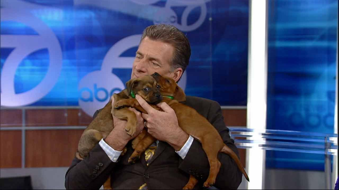 Pooped out pooches took a break from all the action and dozed off in ABC7 anchor Phillip Palmers arms during Puppypalooza on Tuesday, March 24, 2015.