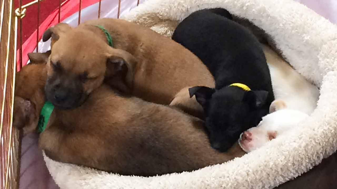 Adorable puppies played and took naps during Puppypalooza on Tuesday, March 24, 2015.