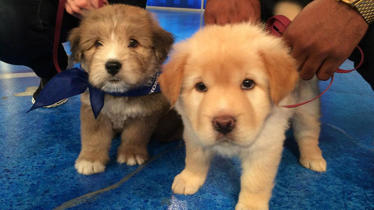 Sisters Gracie and Sophie play at the ABC7 studio during our 2nd annual Puppypalooza adoption event on Tuesday, March 24, 2015.