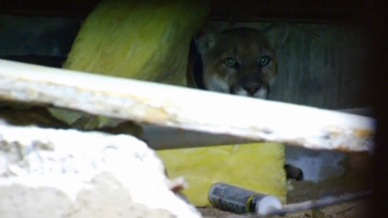 A mountain lion, known as P-22, is trapped beneath a Los Feliz home on Monday, April 13, 2015.