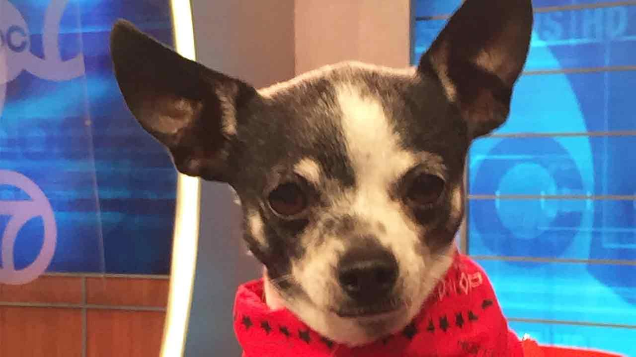 Our Pet of the Week on Tuesday, April 14, is a 10-year-old Chihuahua mix named Doris.