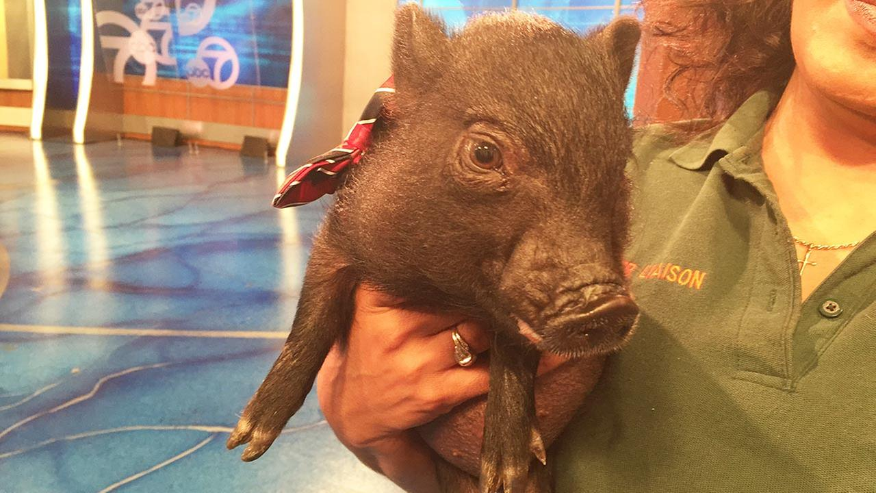 Our Pet of the Week on Tuesday, April 28, is a 3-month-old pot-bellied pig named Charlie. Please give him a good home!