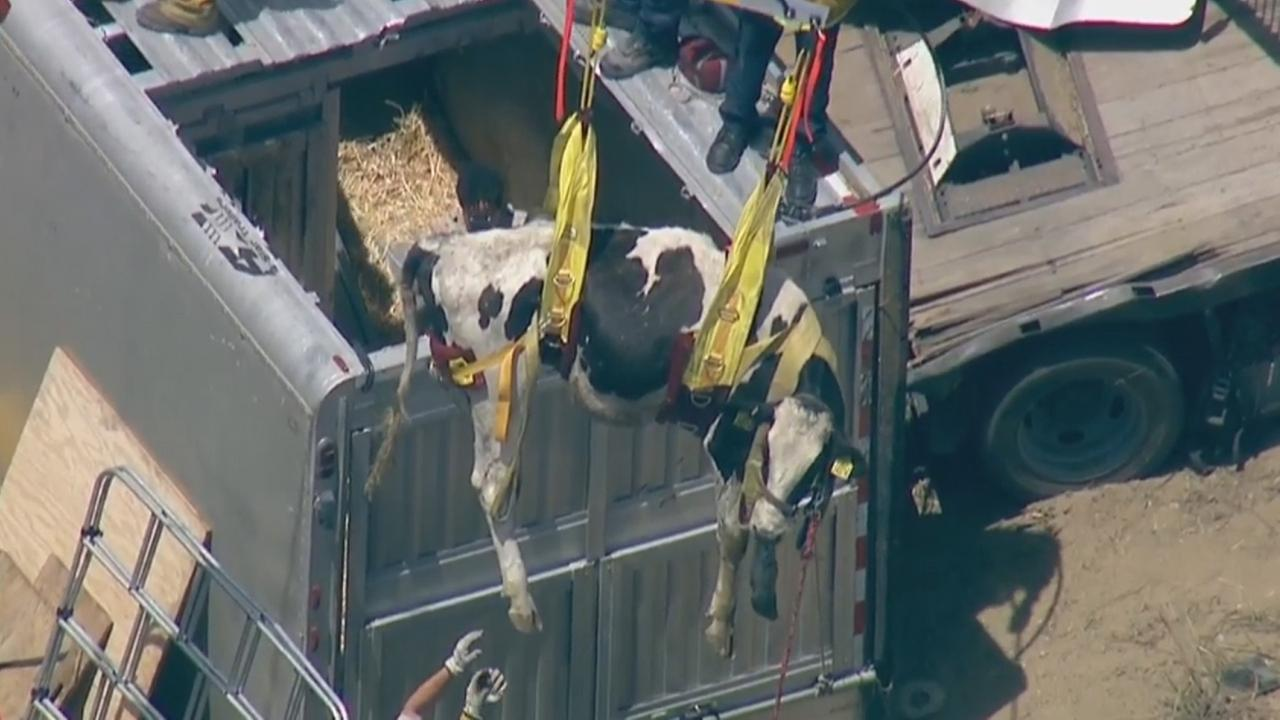 Firefighters lift a cow out of an overturned trailer on the westbound 210 Freeway near Polk Street in Sylmar, Wednesday, April 29, 2015.