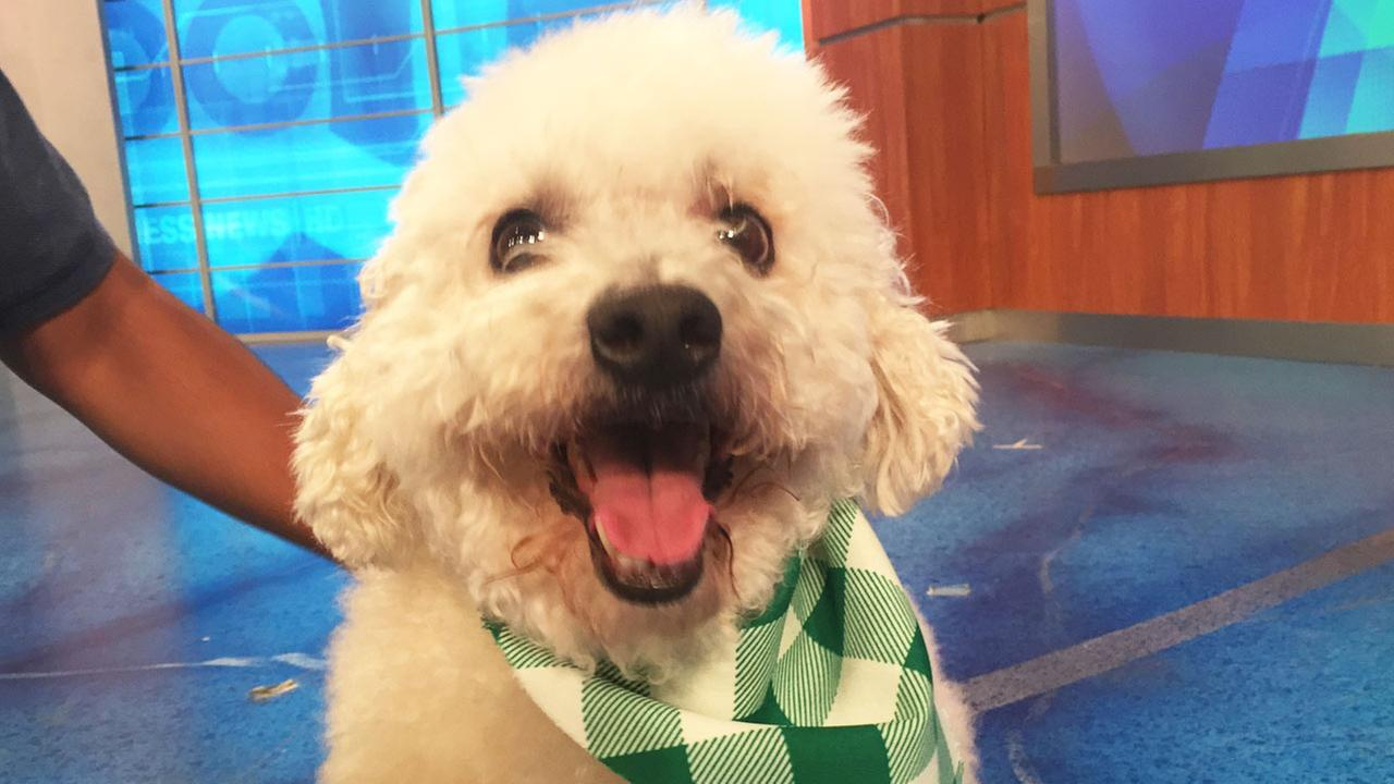 Our Pet of the Week on Tuesday, May 5, is an 8-year-old male Poodle mix named Dudley.