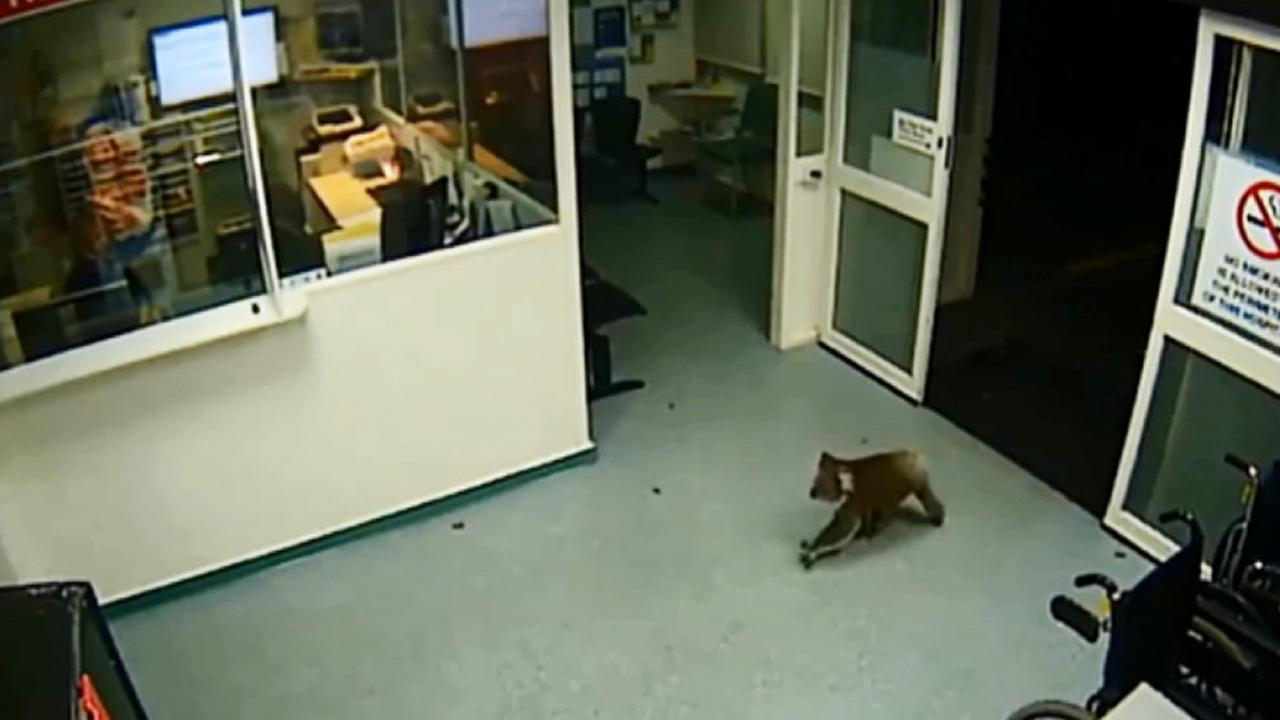 An adorable koala was caught on security cameras entering a hospital emergency room in southern Australia.