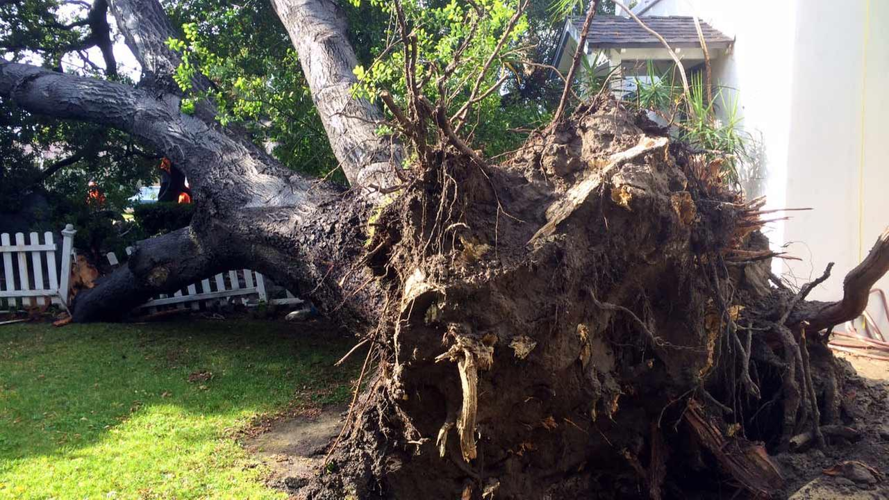 A massive tree tumbled down in Anaheim after a night of steady rain, causing damage to an apartment and crushed several vehicles.