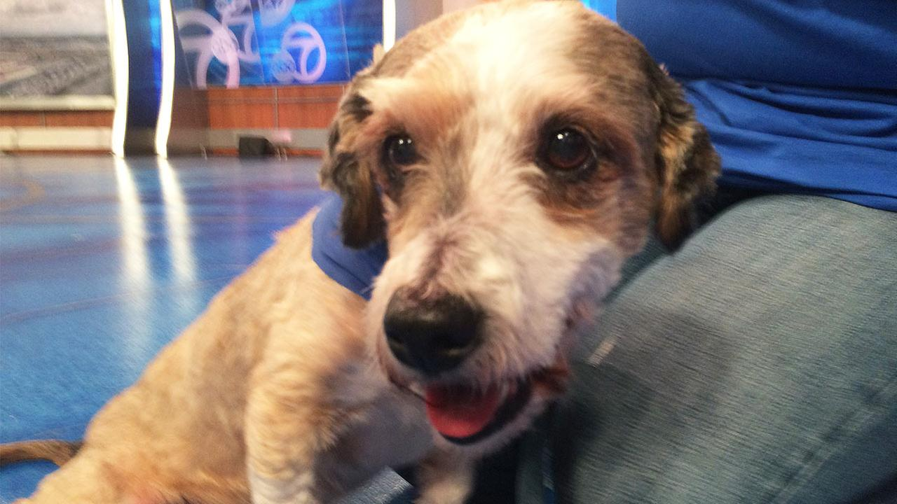 Our Pet of the Week on Thursday, May 14, is an 8-year-old male Lhasa Apso mix named Lewis. Please give him a good home!
