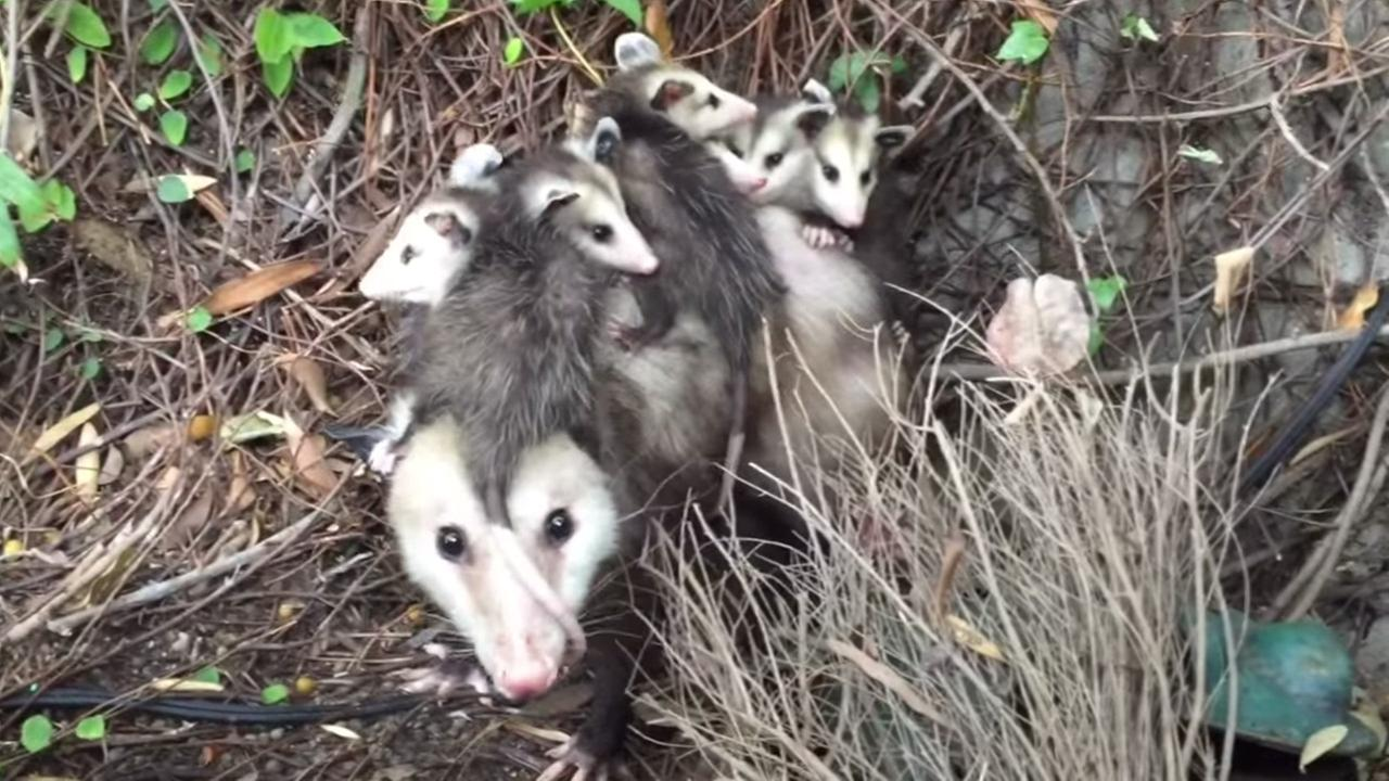 A possum with several babies clinging to its back was found in a Miracle Mile apartment closet.