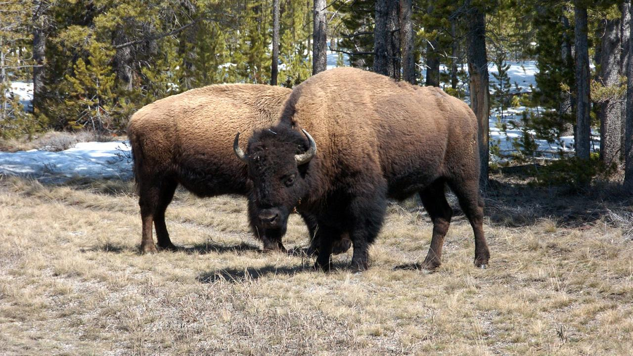 ... -year-old girl gored by bison at Yellowstone National Park   abc7.com