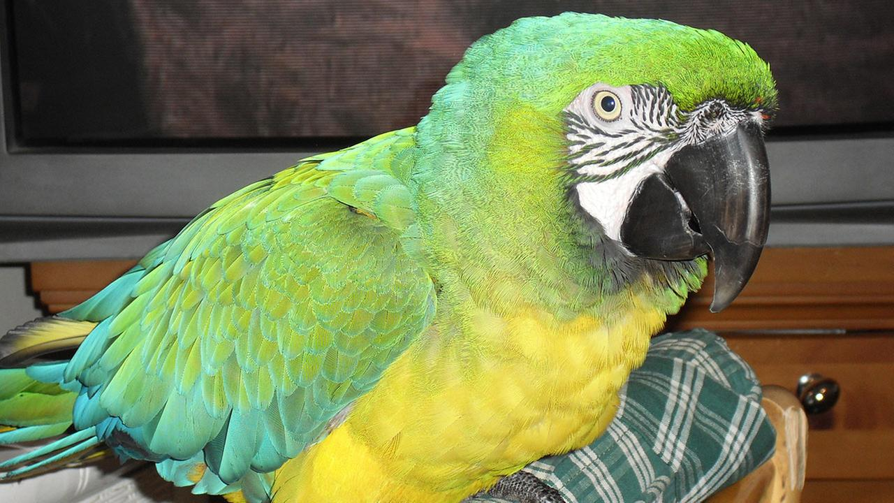 Mickey, the 28-year-old macaw, was allegedly stolen from the backyard of an East Los Angeles woman on Thursday, May 14, 2015.