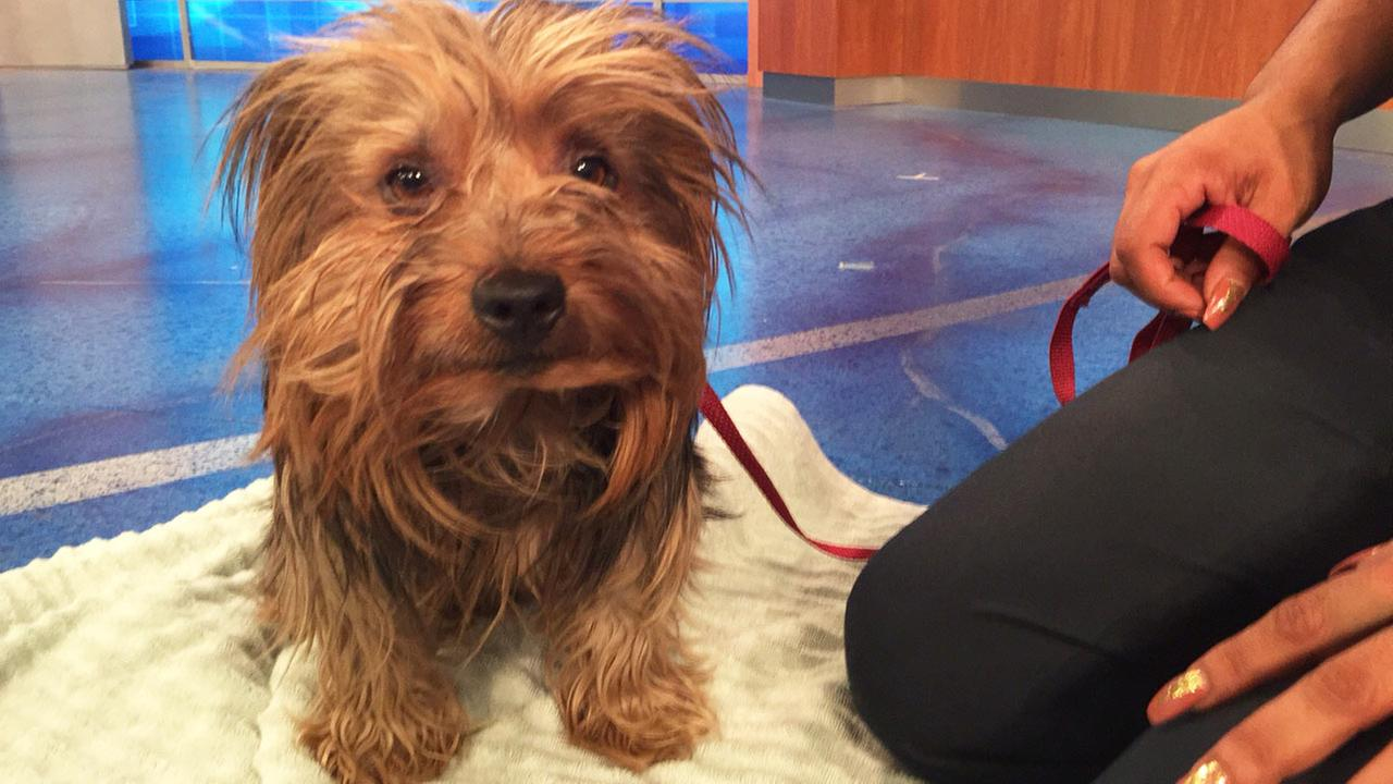 Our Pet of the Week on Tuesday, May 19, is a 5-year-old male terrier mix named Dodger.