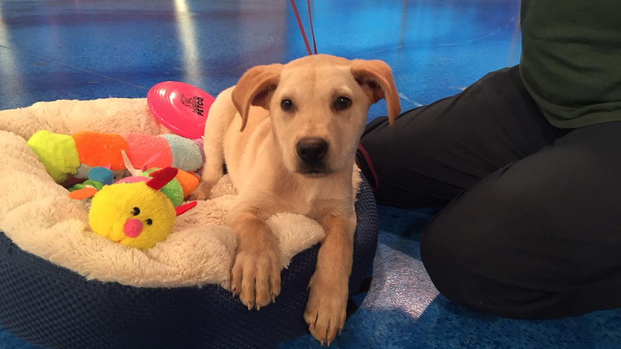 Our Pet of the Week on Tuesday, May 26, is a 3-month-old male Labrador Retriever mix named Spanky. Please give him a good home!