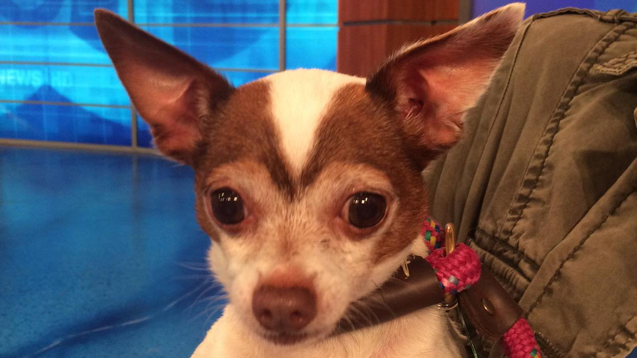 Our Pet of the Week on Thursday, May 28, is an 8-year-old male Chihuahua mix named Colt. Please give him a good home!